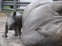 Baby Nashorn lernt von Mutti Nashorn