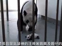 Baby Panda darf zurück zur Mutter-Panda