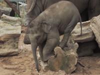Baby-Elefant auf Baumstamm gefangen
