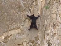 Bär klettert an Steilwand