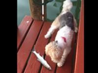 Fieser Fisch greift Hund an
