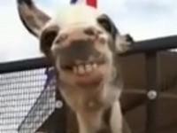 Grinse-Esel