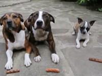 Hund stiehlt Würstchen
