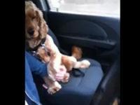 Hund will im Auto Händchen halten