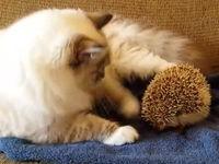 Katze setzt sich auf Igel