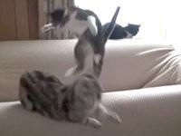 Katzen-Attacke