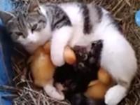 Katzenmutter mit Enten-Babys