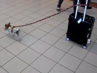 Kleiner Hund zieht großen Koffer
