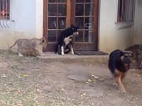 Löwe schleicht sich an Hund an