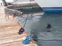 Otter ärgert Hund