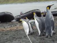 Pinguine verzweifeln an einem Seil