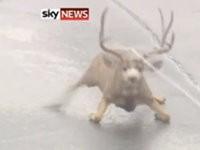 Rentier vom Eis retten
