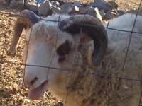 Schaf mit seltsamen Tönen