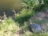 Schildkröten-Stunt