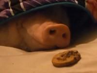Schwein mit einem Keks wecken