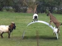 Sportliche Ziegen