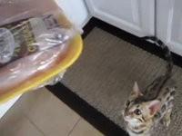 Süße hungrige Katze
