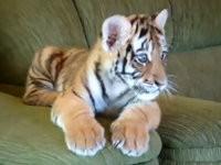Tiger Baby spielt mit Hund