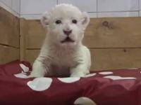 Weißes Tigerbaby